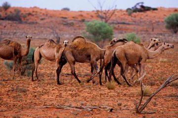 Jusqu'à 10 000 dromadaires sauvages abattus en Australie