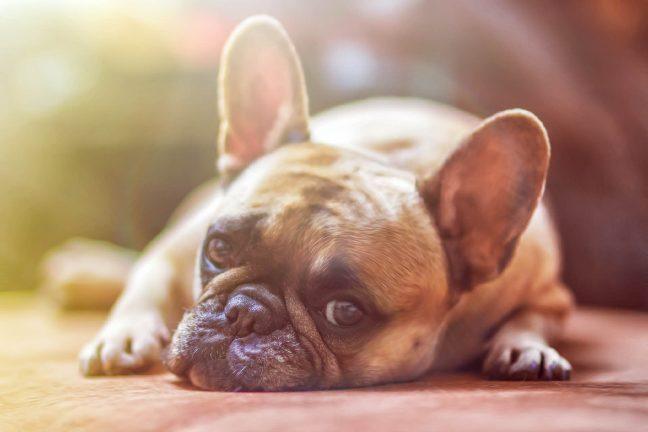 La colonisation de l'Amérique responsable de l'éradication d'anciennes races de chiens