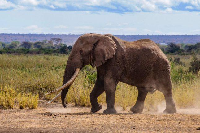 Les éléphants d'Afrique sont confrontés à un risque croissant d'extinction