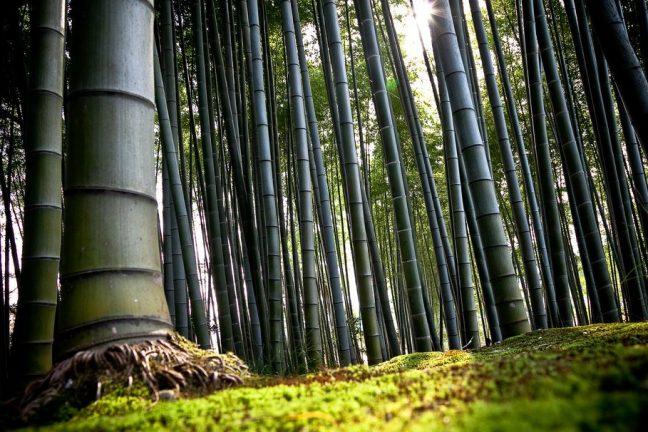Le Malawi utilise le bambou pour lutter contre le changement climatique