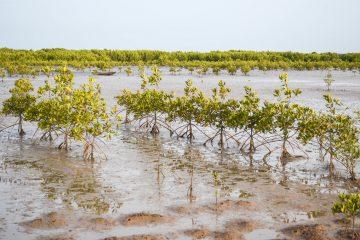 Le Sénégal plante des millions de mangroves pour lutter contre la déforestation
