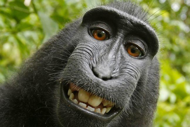 Le macaque au selfie menacé par la chasse et la déforestation