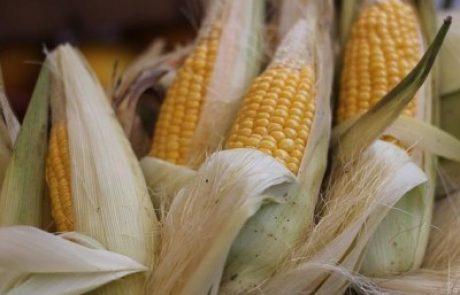 Au Mexique, l'interdiction du maïs OGM divise
