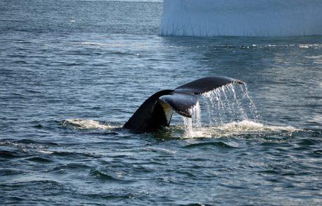 Une étude révèle que les baleines pourraient être nos meilleures alliées contre le changement climatique