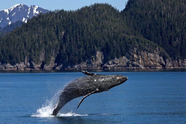 Canada : les baleines, victimes collatérales de l'activité humaine en mer