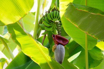 Des chercheurs d'origine indienne convertissent des déchets de bananier en emballage