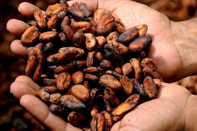 La culture du cacao responsable de la déforestation de la Côte d'Ivoire