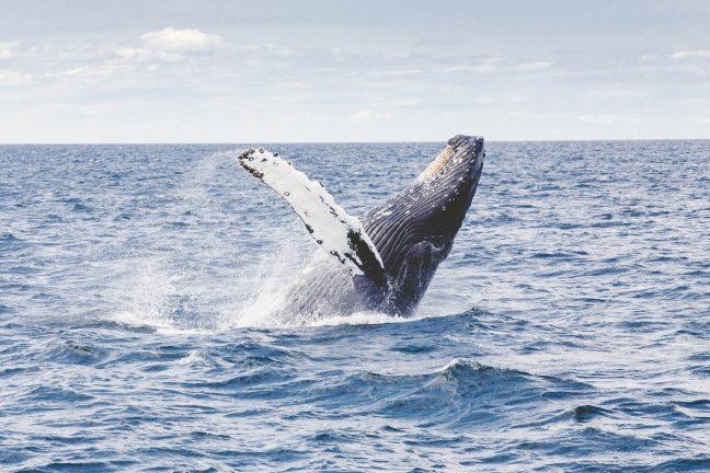 L'Australie dénonce la chasse à la baleine au Japon