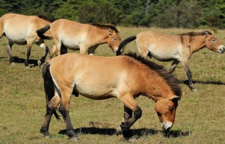 Le zoo de Prague ouvre une nouvelle maison pour des espèces rares de chevaux sauvages