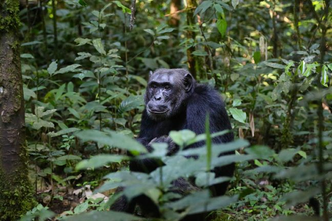 Le chimpanzé pourrait-il devenir une espèce en voie de disparition