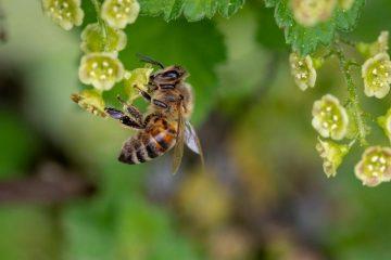 Au Costa Rica, une ville accorde la citoyenneté d'honneur aux pollinisateurs