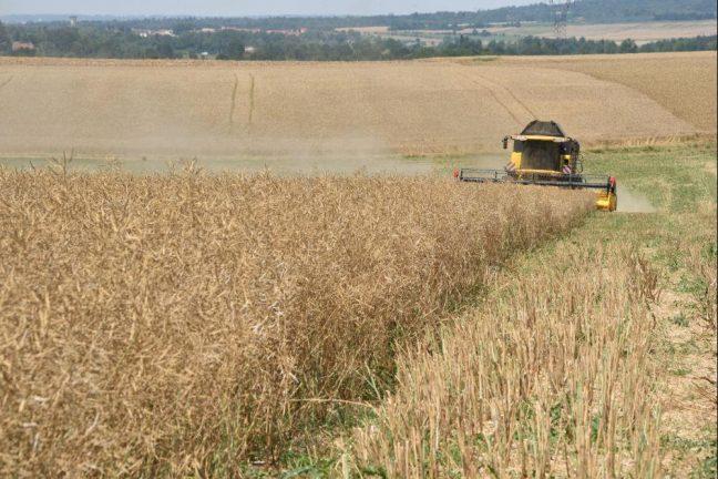 Le colza français mis à mal par la sécheresse