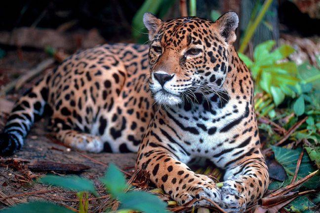 Le Mexique œuvre pour la sauvegarde du jaguar