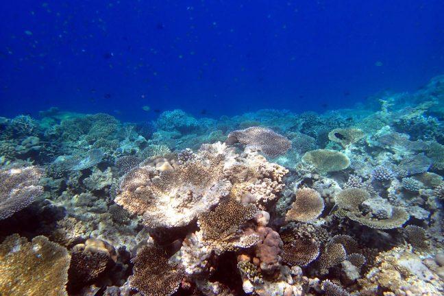 Les coraux japonais à leur tour touchés par le blanchissement