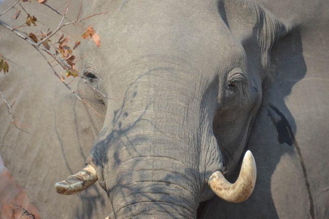 Saisie record d'ivoire et d'écailles de pangolin en Côte d'Ivoire