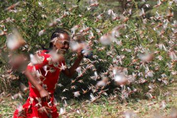En Afrique de l'Est, les essaims de criquets pèlerins prospèrent du fait de la pandémie liée au coronavirus