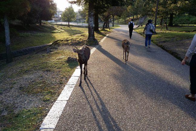 Japon : des daims du parc Nara meurent en ingérant du plastique