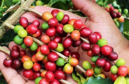 En Colombie, les agriculteurs passent de la culture de coca à celle de café pour protéger la faune