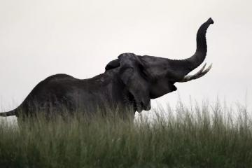 Singapour a détruit l'ivoire d'environ 300 éléphants pour dissuader le commerce illégal