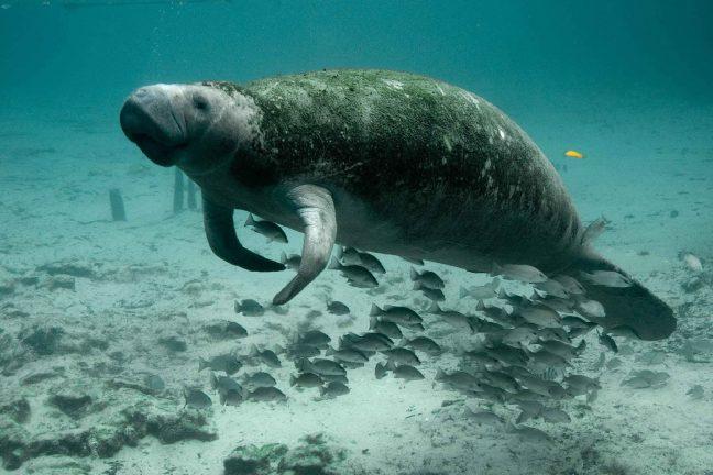 Les dugongs de Nouvelle-Calédonie menacés par le braconnage