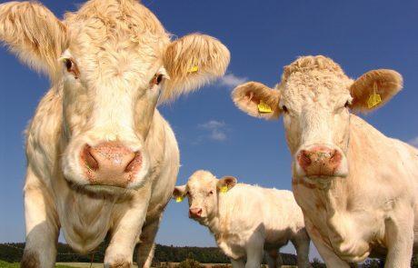 Les émissions de méthane issues du secteur de l'élevage sous-estimées?