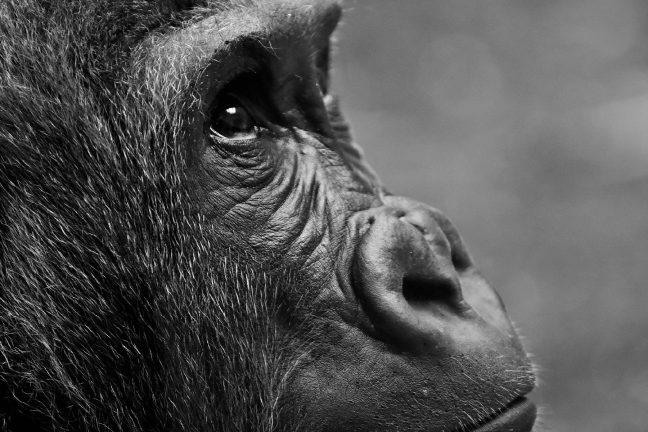 Naissance d'un bébé gorille dans un parc zoologique de la Loire