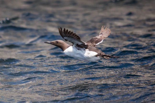 Une étrange hécatombe frappe les guillemots de la mer du Nord