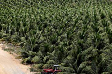 Les industries de la noix de coco et de l'huile de palme en désaccord sur leur impact environnemental