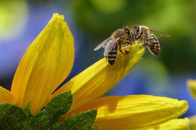 Deux nouveaux pesticides dangereux pour les abeilles interdits en France