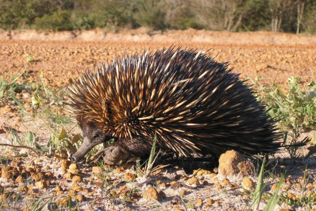Australie : des espèces menacées dans l'indifférence générale