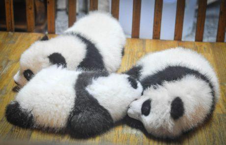 La Chine célèbre la naissance de deux jumeaux pandas