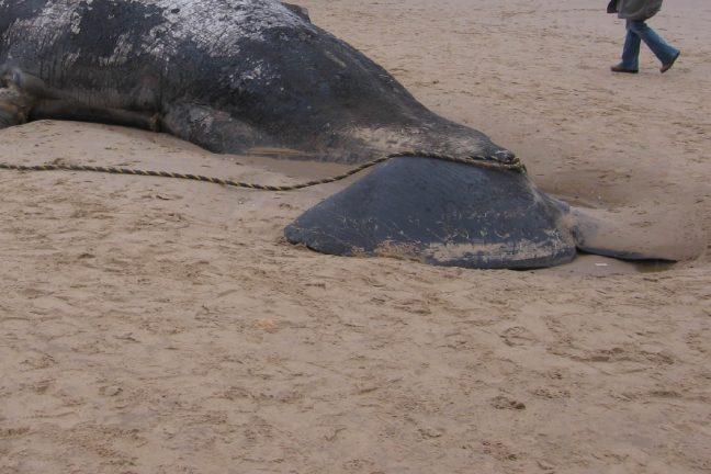 Un cachalot retrouvé mort avec 6 kilos de plastique dans l'estomac
