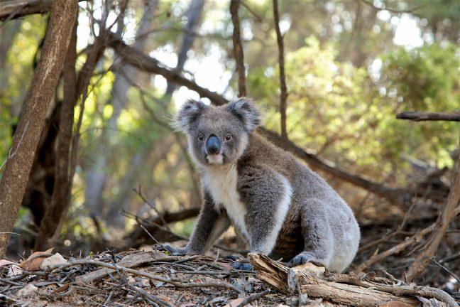 Australie : deux koalas survivent à l'incendie qui ravage la Nouvelle-Galles du Sud