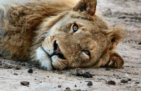 Soudan : un appel international au don pour sauver les lions du parc d'Al-Qureshi
