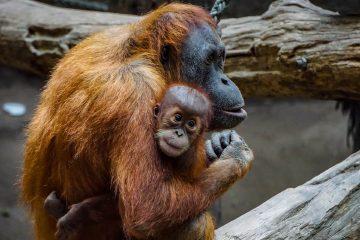 Naissance d'un petit orang-outan au Jardin des Plantes de Paris