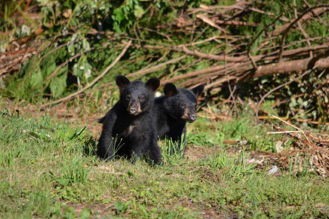 Un ourson séparé de sa mère retrouvé par l'ONCFS en Ariège