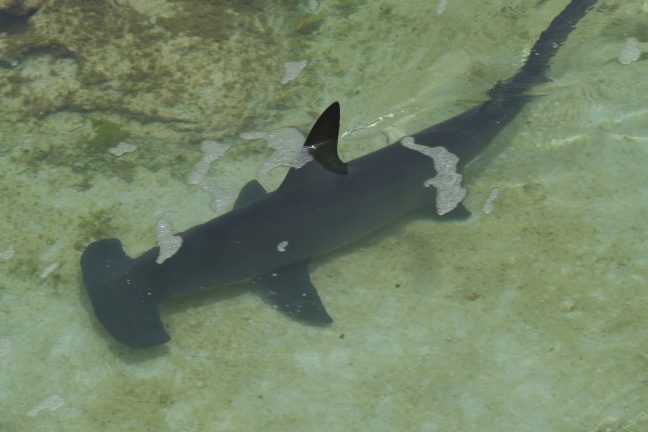 L'Équateur annonce la découverte d'un refuge naturel pour requin-marteau