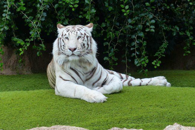 Tunisie : quatre bébés tigres blancs saisis à la douane de Ras Jedir