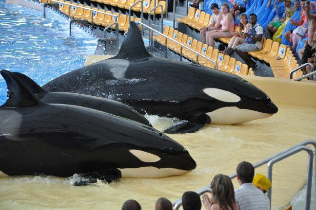 Canada : vers la fin de la captivité des cétacés ?