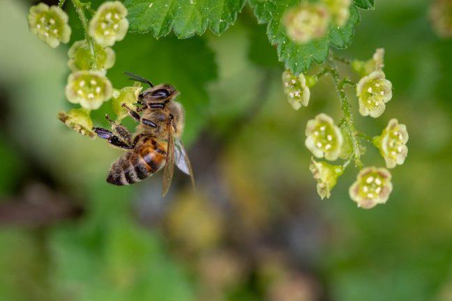Interdiction de néonicotinoïdes: un petit pas pour l'homme, un grand pas pour les abeilles