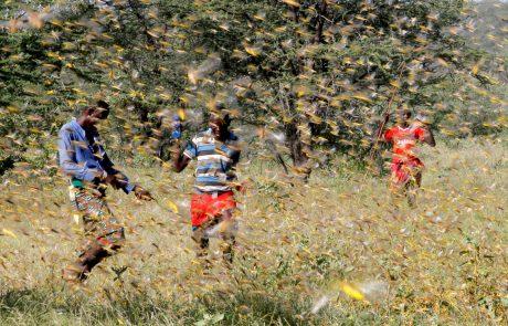 Une invasion de criquets menace la sécurité alimentaire dans la sous-région d'Afrique de l'Est