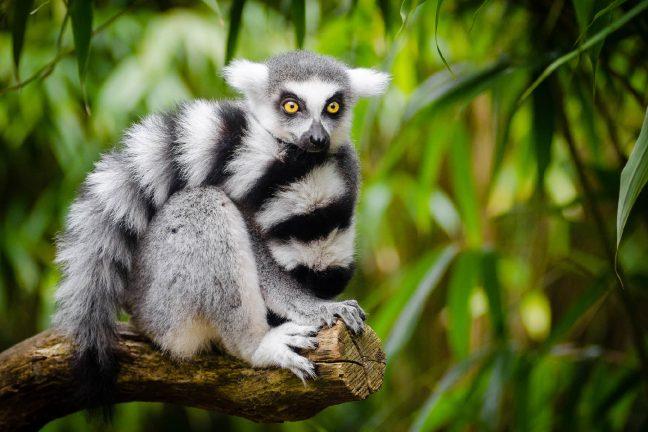 Les lémuriens deviennent les primates les plus menacés de notre planète
