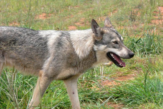 Le loup de retour en Charente après un siècle d'absence