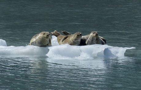 Les phoques du Pacifique sont menacés par la fonte des glaces de l'Arctique