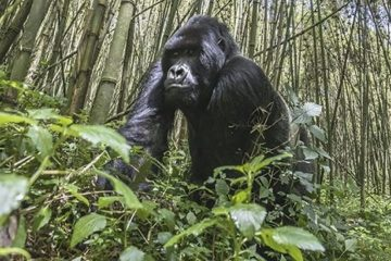 Le Rwanda double le prix du permis pour observer ses gorilles