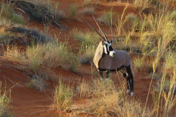 L'oryx blanc, le nouvel or noir du sultanat d'Oman?