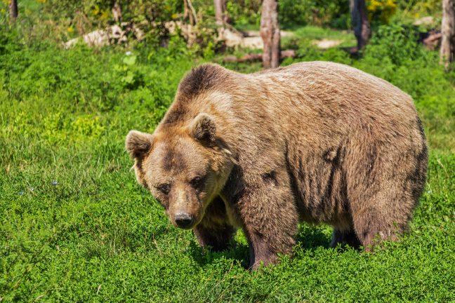 Malgré les bergers armés, une ourse vient d'être réintroduite avec succès dans les Pyrénées