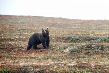 Nicolas Hulot annonce l'introduction de deux ours femelles dans les Pyrénées