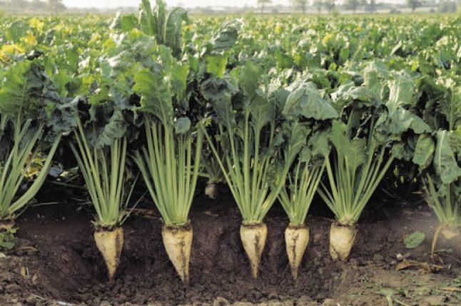 La France va assouplir l'interdiction des pesticides sur la betterave sucrière pour freiner les pertes de récoltes