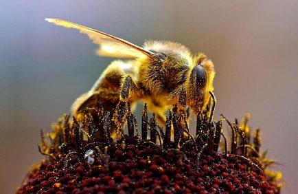 Une pétition citoyenne pour sauver les abeilles interpelle l'Union Européenne